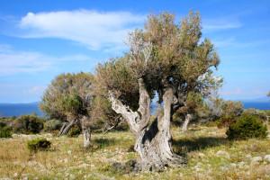 Staleté olivovníky Lun