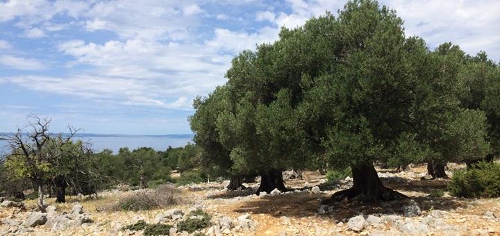 Olivový háj na Pagu