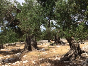 Olivovníky, Pag, Chorvatsko